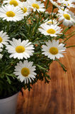 White daisy flowers for background Stock Images