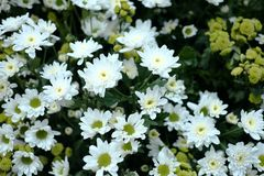 White daisy flowers Bellis Perennis. In the garden Royalty Free Stock Image