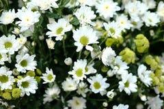 White daisy flowers Bellis Perennis. In the garden Stock Images