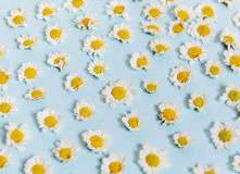 White Daisy Flowers on Blue Background Royalty Free Stock Image
