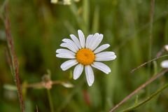 White daisy flowers on blurred green grass background.  royalty free stock images