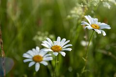 White daisy flowers on blurred green grass background.  royalty free stock photo