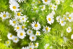 White daisy flowers on blurred green grass and sunlight background close up, chamomile flower blossom meadow on summer sunny day stock image