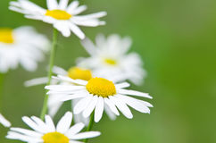 White daisy flowers (camomile) Royalty Free Stock Photography