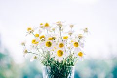 White Daisy Flowers on Clear Glass Vase Stock Photos