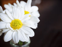 White Daisy Flowers Close up Nature background Royalty Free Stock Images