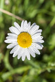 White daisy flowers, close up Royalty Free Stock Photos