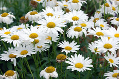 White daisy flowers field Royalty Free Stock Images
