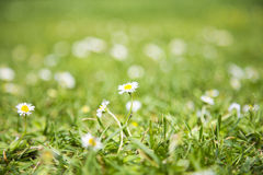 white daisy flowers field Royalty Free Stock Image