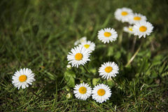 White daisy flowers Stock Photography