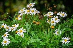 The White Daisy flowers Garden stock photos