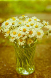 White daisy flowers in a glass blurred background Aster daisy Stock Photo