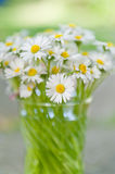 White daisy flowers in a glass blurred backgroung Aster daisy co Stock Image