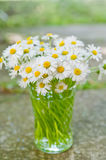 White daisy flowers in a glass blurred backgroung Aster daisy. Composite flower Asteraceae  Compositae Royalty Free Stock Images