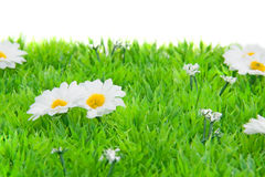 White daisy flowers on grass Royalty Free Stock Images