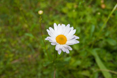 White daisy flowers. On grass background, close up Stock Images