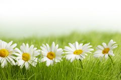 White daisy flowers in green grass Royalty Free Stock Photos