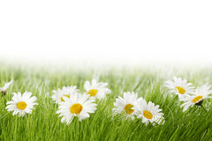 White daisy flowers in green grass Stock Photography
