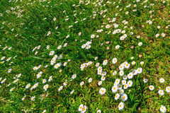 White daisy flowers on a green grass Stock Image