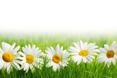 White daisy flowers in green grass royalty free stock photo