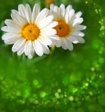 White daisy flowers . Royalty Free Stock Images