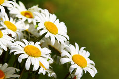 White daisy flowers . Royalty Free Stock Photos