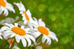 White daisy flowers . Stock Photography