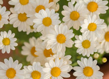 White daisy flowers macro Stock Photography