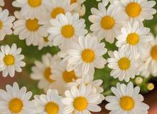 White daisy flowers macro Stock Photography