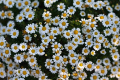 White Daisy flowers. Many of them, fresh in a flowerpot Stock Photography