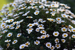White Daisy flowers. Many of them, fresh in a flowerpot Stock Image
