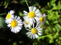 White daisy flowers on a meadow in summer stock image