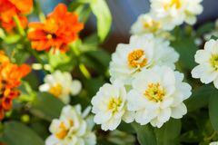 White daisy flowers in nature background.  stock image