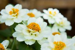 White daisy flowers in nature background.  royalty free stock image