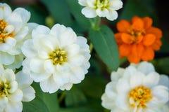 White daisy flowers nature garden background.  royalty free stock photos