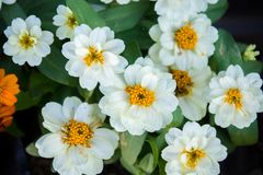 White daisy flowers nature garden background.  royalty free stock images