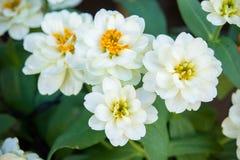 White daisy flowers nature garden background.  royalty free stock image