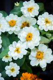 White daisy flowers nature garden background.  royalty free stock photography