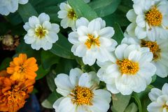 White daisy flowers nature garden background.  stock images