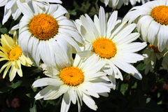 White Daisy Flowers Royalty Free Stock Image