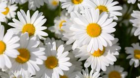 White daisy flowers . Summer background. Royalty Free Stock Photography