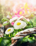 White daisy flowers in sunny spring garden Royalty Free Stock Photo