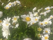 White daisy flowers with water drops.. Flower field, green grass and leaves. daisy garden with natural spring background Stock Photos