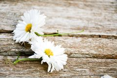 White  daisy flowers Royalty Free Stock Images