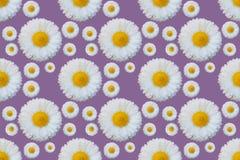 White daisy flowers pattern royalty free illustration