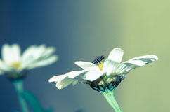 White daisy and fly Royalty Free Stock Photos