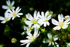 White Daisy in Forest Royalty Free Stock Photo