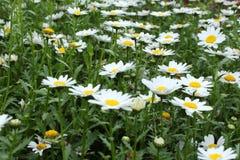 White daisy Royalty Free Stock Photo