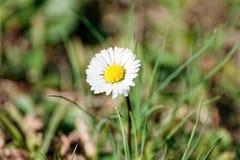 white daisy in a garden Royalty Free Stock Photo