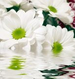 White Daisy-gerbera With Soft Focus Reflected In T Royalty Free Stock Photography